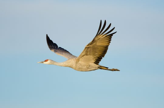 The sandhill crane population  east of the Mississippi River has made a tremendous comeback since early in the 20th Century.