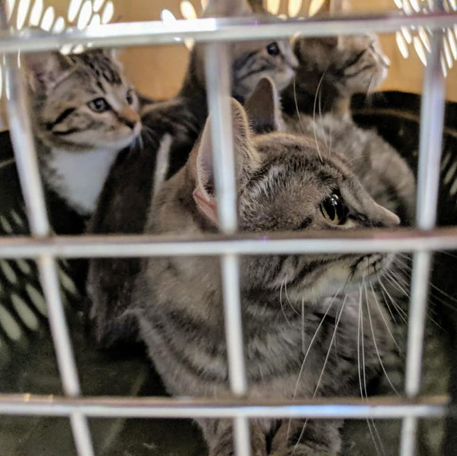 Animal Services Center of the Mesilla Valley and ACTion Programs for Animals is seeking the community's help in homing and fostering over 450 cats.