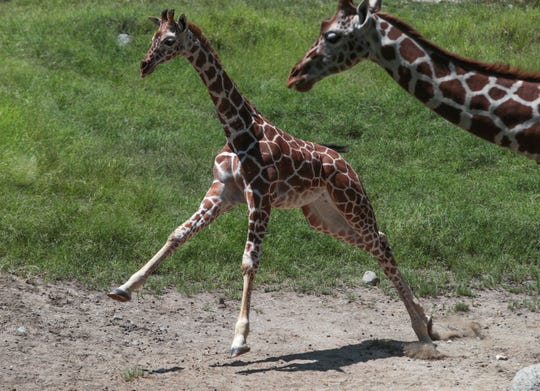 A young giraffe breaks out in an excited sprint at The Living Desert in Palm Desert, August 16, 2019.