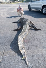 Sean Valdez, of Gulf Breeze, snaps a photo of his 12 foot 6 1/2 inch alligator at Day Break Marina in Pensacola on Friday, August 16, 2019.  Valdez and Sam Johnston, of Navarre, caught the massive gator at the start of alligator season in Walton County's Choctawhatchee River.
