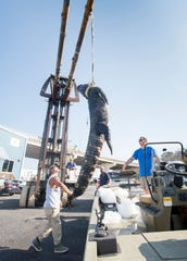 Sean Valdez, of Gulf Breeze, left, and Sam Johnston, of Navarre, need a fork lift to unload their 12 foot 6 1/2 inch alligator at Day Break Marina in Pensacola on Friday, August 16, 2019.  Johnston and Valdez caught the massive gator at the start of alligator season in Walton County's Choctawhatchee River.