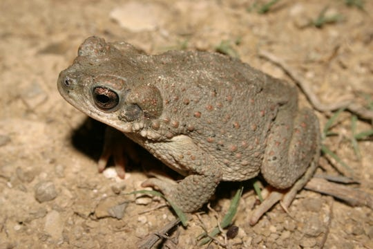"""The red-spotted toad (Bufo punctatus) is one of nine species of """"true"""" toads that occur in Texas, and it is arguably the most distinguishable."""
