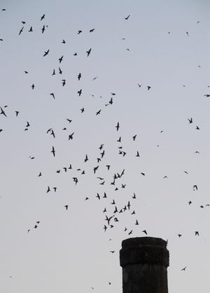 A Chimney Swift colony descends into its chimney roost at sunset.