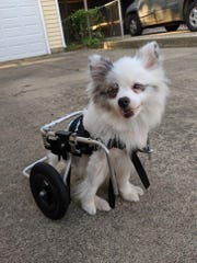 Skippy used a doggie wheelchair when he was first found because vets believed he was paralyzed in his hind legs.