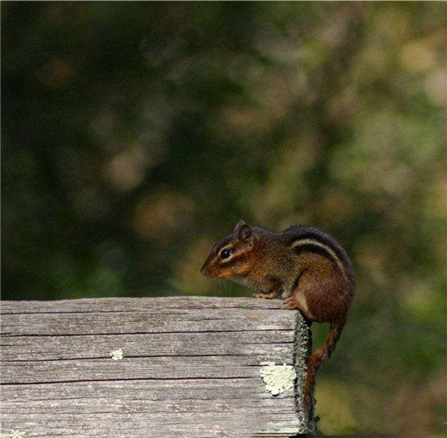 Only one type of chipmunk, the eastern chipmunk, is native to North Carolina.