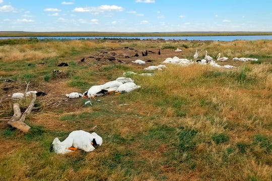 This Aug. 11, 2019, photo provided by Montana Fish, Wildlife and Parks shows the carcasses of pelicans and double-crested cormorants killed during a hailstorm with winds up to 70 mph at Big Lake Wildlife Management Area, west of Molt, Mont. State wildlife officials say more than 11,000 birds were killed or maimed in the storm. (Courtesy of Montana Fish, Wildlife and Parks via AP)