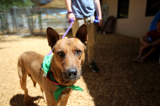Bruno, a dog at the Palm Springs Animal Shelter looks into the camera during the Clear The Shelters pet adoption event in Palm Springs, Calif., on Saturday, August 17, 2019.  He was adopted by a family during the event.