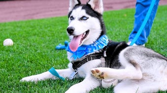 Blue, the five-month-old Siberian Husky, is the York Revolution's new team dog. He will make his official debut on Sunday, August 18, 2019.