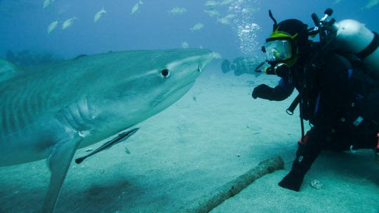 Shark expert Greg Skomal comes face to face with a tiger shark off Florida as part of Discovery Channel Shark Week 2015.