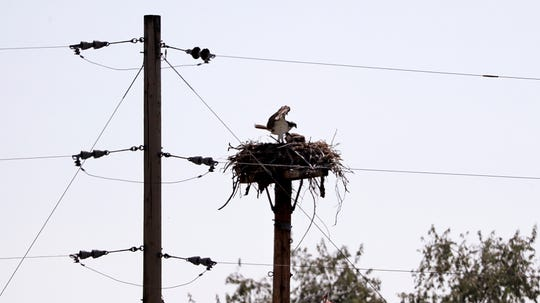 An osprey feeds a chick nested atop a platform adjacent to the the Hanford Reach National Monument along the Columbia River near Richland, Wash.