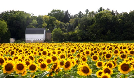 Some of the sunflowers in the Stonebank Sunflower Farm were damaged by visitors in late August. The field featured 500,000 sunflowers and attracted people from across the area throughout August.