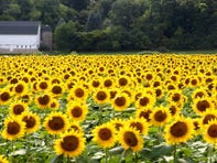 A field of an estimated 500,000 sunflowers are on display next to Stone Bank Elementary School in the town of Merton. The sunflowers were planted in the middle of June.
