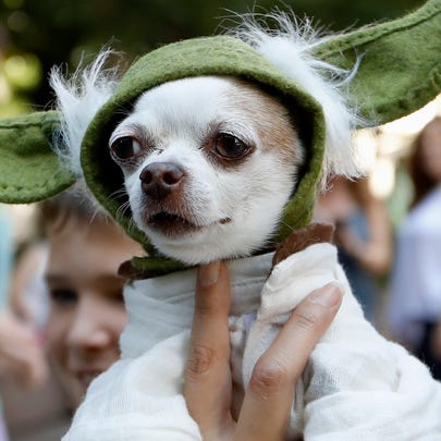 """A dog dressed as Yoda from """"Star Wars"""" won the cosplay costume contest award at Doggy Con in Woodruff Park, Saturday, Aug. 17, 2019, in Atlanta. Cosplay is the practice of dressing up like a fictional character."""