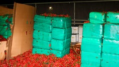 This Thursday, Aug 15, 2019, photo released by the U.S. Customs and Border Protection shows marijuana mixed in with a shipment of jalapeno peppers seized by CBP officers in San Diego's Otay Mesa, Calif. Officials say they seized $2.3 million worth of marijuana at the Southern California port.
