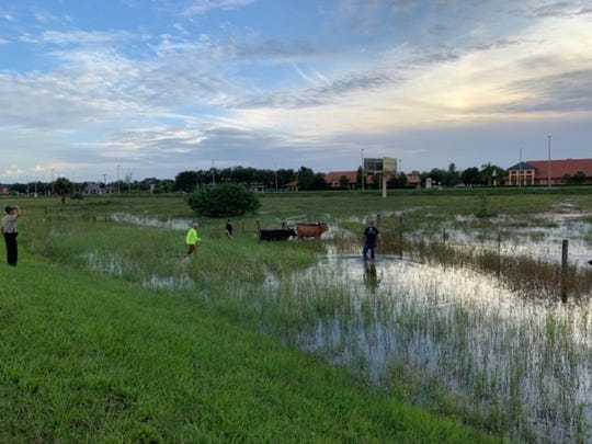 A Lee County Sheriff's Office deputy and a community service aide, joined by four passersby, helped corral three cows found wandering down Metro near the intersection with Diamond Centre Court at 7 p.m. Friday.