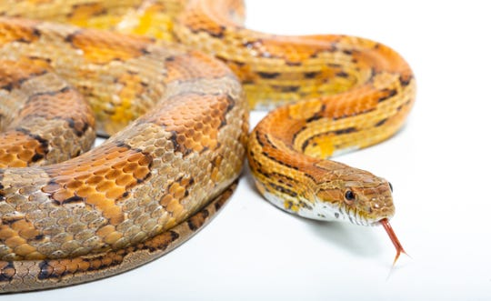 Kids can see snakes up close at the Weill Center Sunday, Sept. 8, 2019.