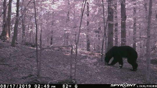 A bear was spotted roaming the woods in Joelton over the weekend.