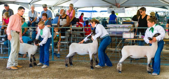 A judge looks at sheep during the livestock show.