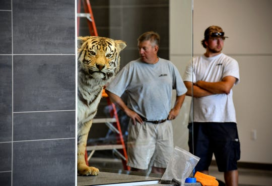 The Siberian tiger on display at Tech High School peers from its new home in a display case at the school's entrance Monday, Aug. 19, 2019, in St. Cloud.