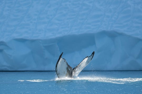 Whale watching is a popular attraction among Greenland's tourists. Multiple species of whale live and travel along the icebergs, allowing tourists to experience the arctic marine life from a variety of whale watching expeditions.