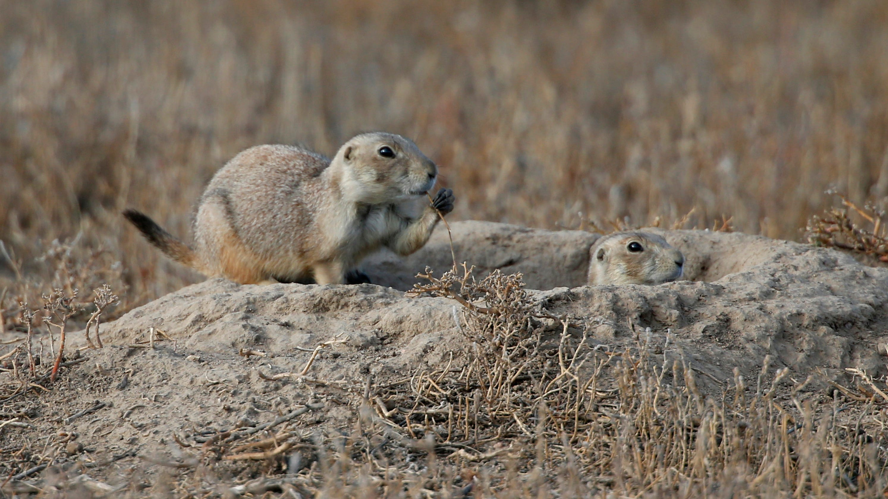 Colorado wildlife refuge still affected by prairie dogs with