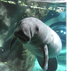 Daphne, Cincinnati Zoo's 2-year-old manatee, leaves for home in Florida