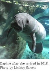 Daphne the manatee gained 400 pounds during her stay at Manatee Springs.