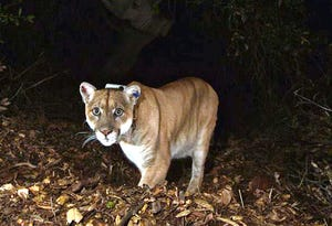 A mountain lion known as P-22 in November 2014, photographed in the Griffith Park area near downtown Los Angeles.