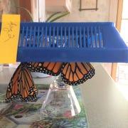 Two butterflies hang as their wings dry.