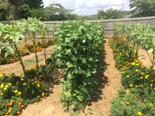 Rows of different plants show the variety of produce Deena Monday has in her garden.