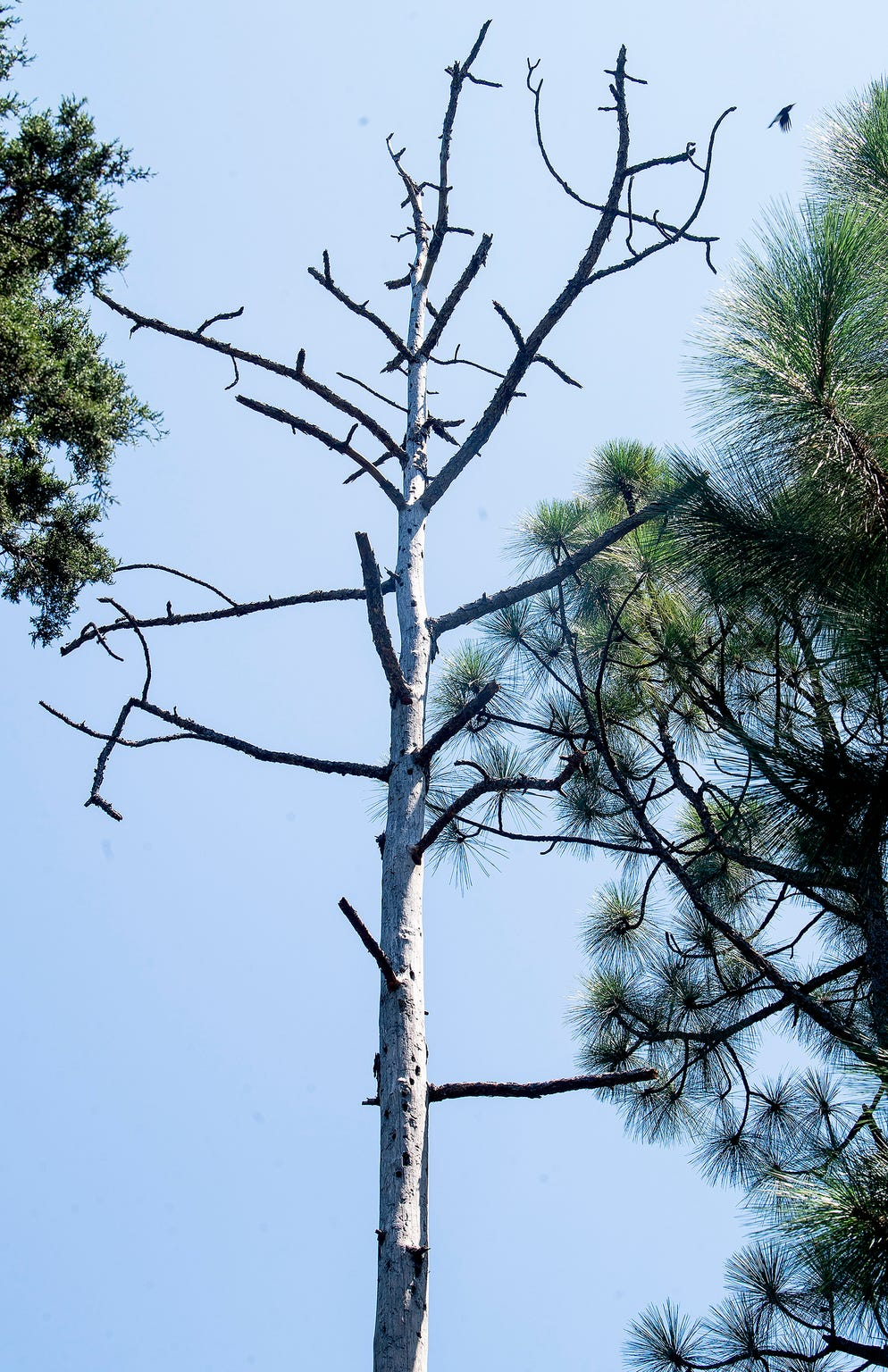A longleaf pine tree that died after it was struck by lightning on the property of John Pirtle, of Pirtle Forestry Services, near Billingsley, Ala., on Thursday August 15, 2019.
