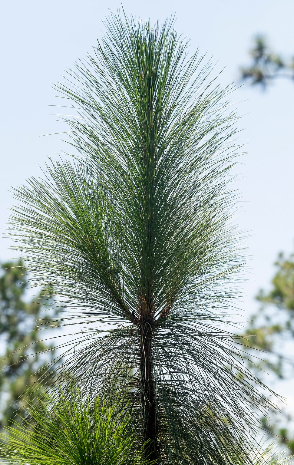 A young longleaf pine tree on the property of John Pirtle, of Pirtle Forestry Services, near Billingsley, Ala., on Thursday August 15, 2019.