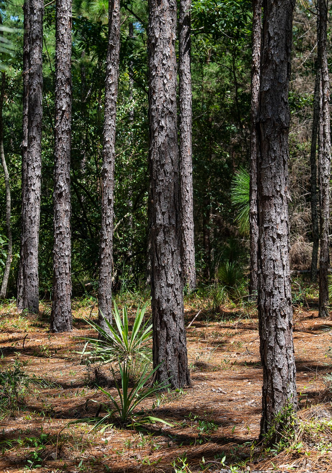 Longleaf pine trees on the property of John Pirtle, of Pirtle Forestry Services, near Billingsley, Ala., on Thursday August 15, 2019.