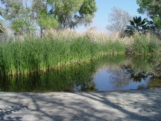 This small oasis at The Living Desert features a dense stand of cattail at the water's edge.