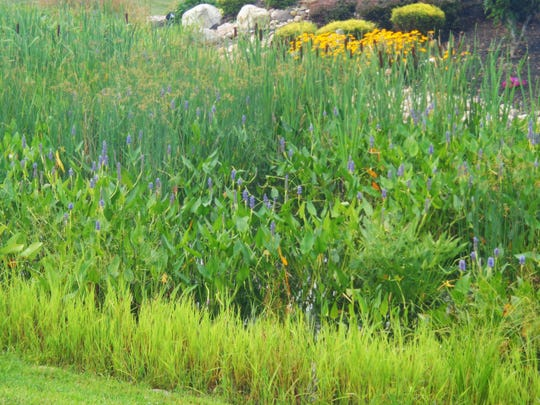 A low-lying wetland features bearing with their cigar-like seed heads.