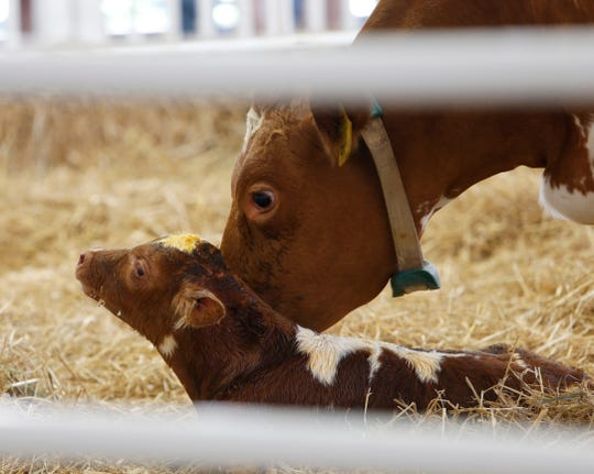 A cow tends to her calf which was born 37 minutes after the opening of the  Dutchess County Fair in Rhinebeck on August 20, 2019.
