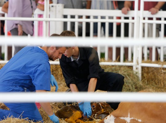 From left, Dave Domkowski of Red Hook and Scyler Knebel of Winamac Indiana help a cow give birth at the 2019 Dutchess County Fair in Rhinebeck on August 20, 2019. The calf, a heifer was born 37 minutes after the opening of the fair.