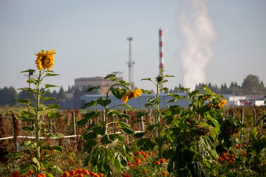 The Covanta Marion facility is seen in the background as sunflowers and other plants grow at a nursery along HWY 99 near Brooks August 20, 2019.