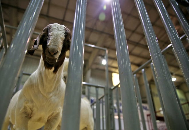 A goat peers out from an enclosure at the Texas Sheep and Goat Expo on Friday, August 16, 2019.