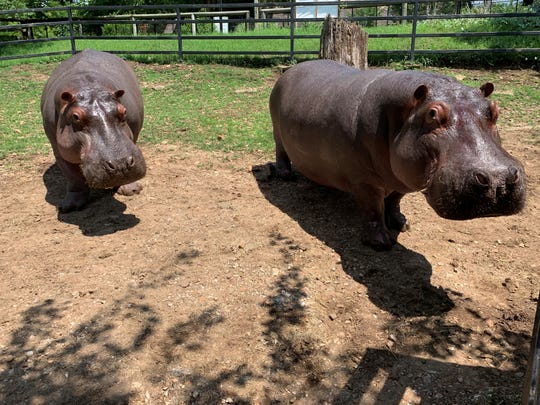 Sisters Zambezi and Kasai will soon be leaving the Dickerson Park Zoo in Springfield, Mo. They are returning to their home at the Cheyenne Mountain Zoo in Colorado to a new multimillion-dollar hippo habitat.