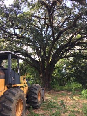 A bulldozer sits beside the Benton Oak.