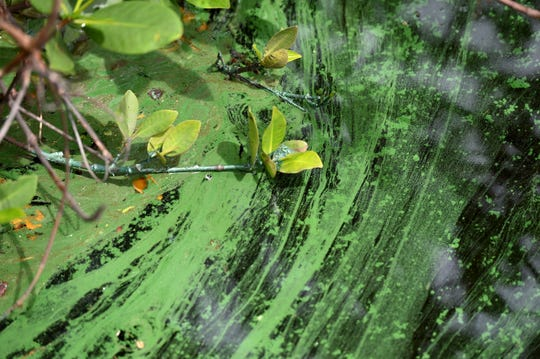 Algae is seen trapped among the mangroves of the shoreline at the north dock of Harbortown Marina, along the west bank of the Indian River Lagoon Tuesday, Aug. 20, 2019, in Fort Pierce.