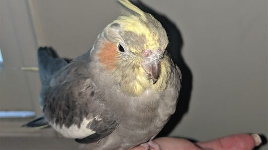 This cockatiel was found in a fenced area behind the Santa Barbara County jail.