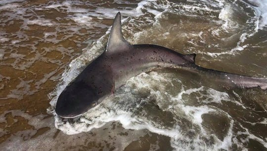 This dying shark washed ashore in Rehoboth Beach over the weekend.