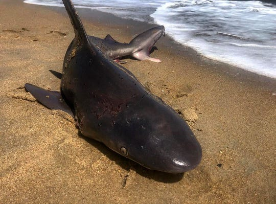This shark was dying and covered in lesions and possibly parasites when it washed ashore in Rehoboth Beach over the weekend.