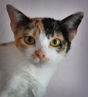 Shania is a 2-year-old, calico, domestic short-haired cat. She is vaccinated, spayed and microchipped. Shania is calm, sweet and available for adoption at the Humane Society of Wichita County.