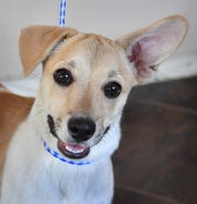 Scamp is a 5-month-old, tan and white, Chiweenie mix. He is nuetered, vaccinated and microchipped. Scamp is cute, friendly and available for adoption at the Humane Society of Wichita County.