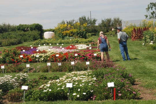 About 100 visitors attended an open house at the UW-Madison's West Madison Agricultural Research Station to look at hundreds of varieties of geraniums, perennial plants and dahlias. The plots also include a grape vineyard and extensive vegetable beds.