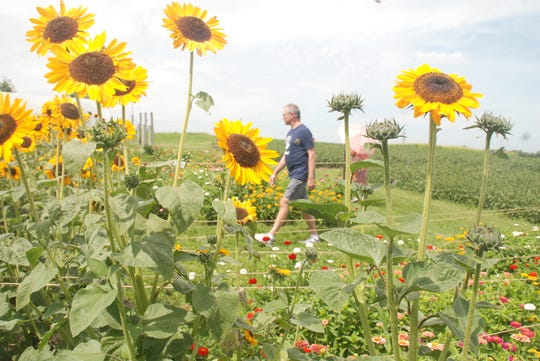 A visitor strolls through garden beds framed by a crop of sunflowers during an open house August 17 at the UW's West Madison Agricultural Research Station.