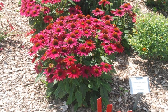 One of the favorite plants for those who visited the UW-Madison's garden plots was an echinacea in the Darwin Perennial beds and is called Sombrero 'Tres Amigos'. Visitors were asked to use red stakes to mark their favorite plants and there were many next to this plant.